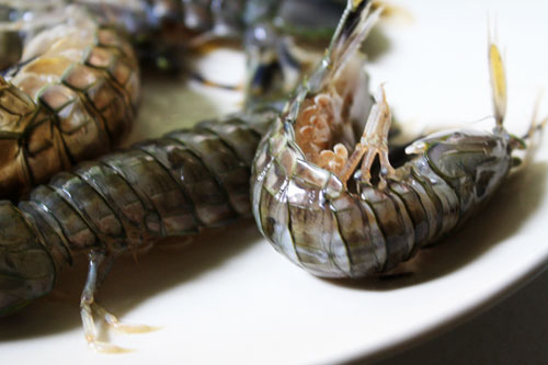 20101005-mantisshrimp-curled
