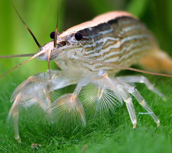 Bamboo-Shrimp-information-Banana-Shrimp-Singapore-Flower-Shrimp-Singapore-Wood-Shrimp-Atyopsis-moluccensis-redcherryshrimp-3